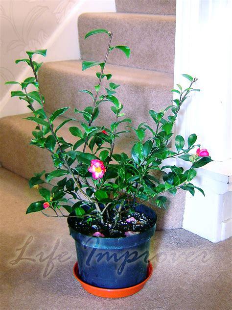 cm hardy camellia  pot christmas indoor garden