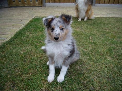 blue merle sheltie puppies blue merle puppys and blue on