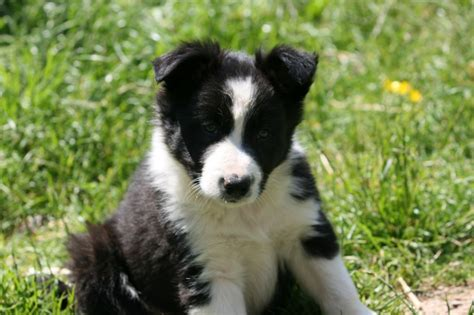 border collie puppies for sale border collies border collie puppies for sale border