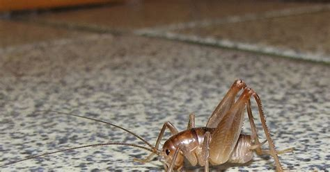 jumping insects in basement bug eric camel crickets