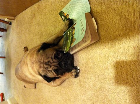 Book Review Pug Hill By Alison Pace by In Transition Pug Hill