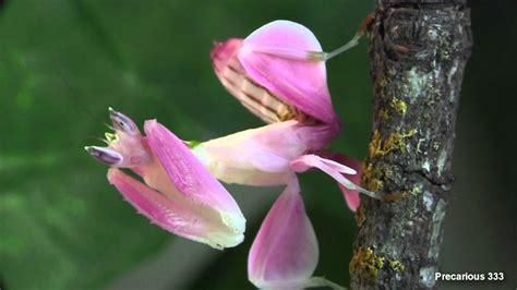 praying mantis change color orchid mantis does it really mimic an orchid 171 why