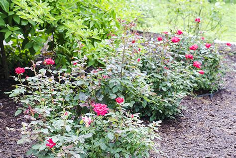deadheading knockout roses knockout roses what s natalie doing
