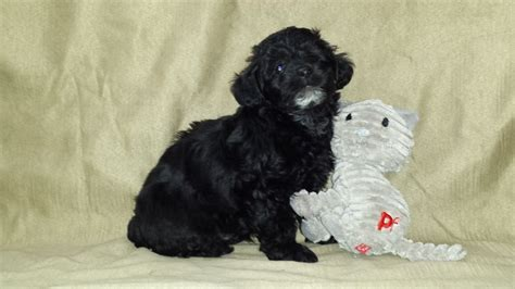 yorkie poo breeders colorado yorkiepoo puppies bedford bedfordshire pets4homes