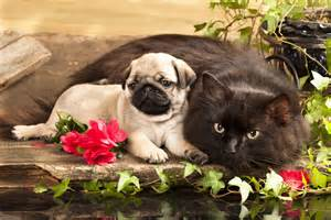 cat pug pug cat wallpaper 250872