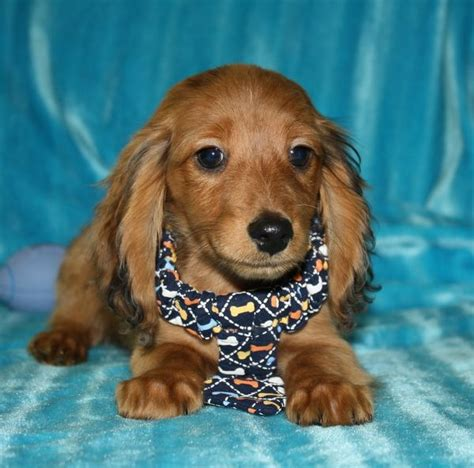 dachshund puppies for sale nc best 25 dachshund breeders ideas on ontario prayer times