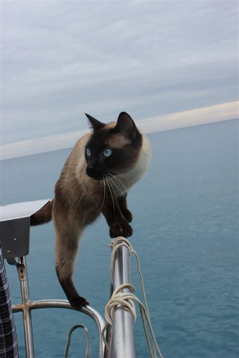 living on a boat with cat meet bailey boat cat feline admiral with a french passport