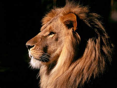 imagenes de leones rugientes leon