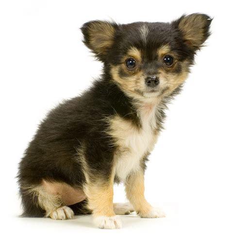 hair chihuahua puppy roxi a haired chihuahua puppy m5x eu