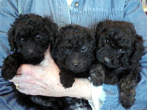 poodles puppies miniature poodles at the milk honey farm