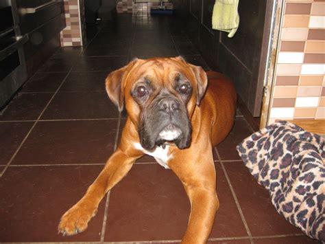 oldest boxer 11 month kc reg 5 generation boxer exeter pets4homes