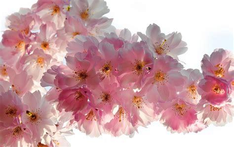 imagenes de flores wallpaper hd hermosas flores de cerezo fondos de pantalla hermosas