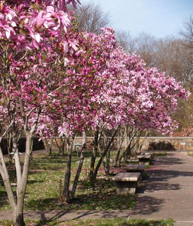jane magnolia tree for sale brighter blooms nursery