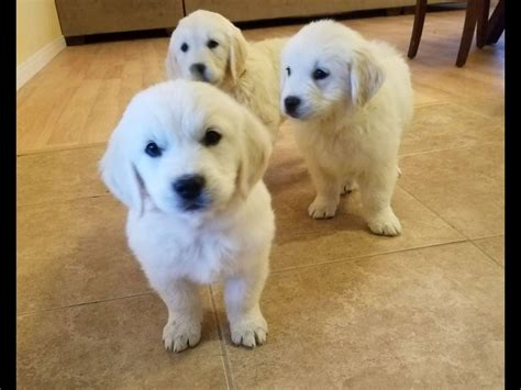 golden retriever puppies for sale in las vegas las vegas golden retrievers golden retriever puppies for sale
