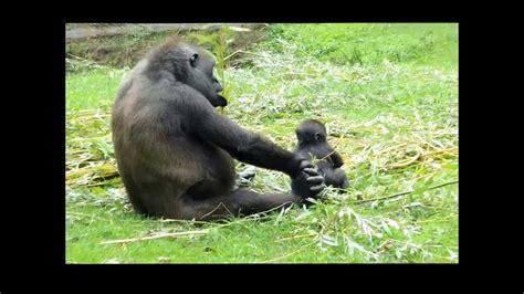 burgers zoo gorilla met de tweeling  september