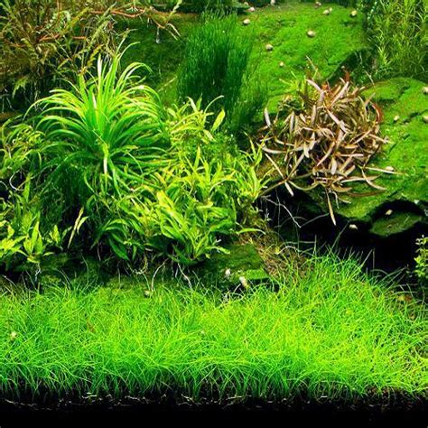 Hair Grass Aquascape by 17 Best Images About Flora Aquarium On