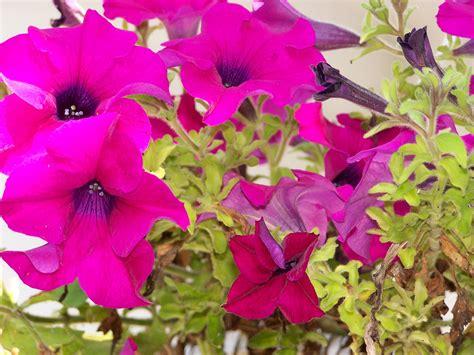 Plantas Online file petunia hybrida 01 jpg wikimedia commons