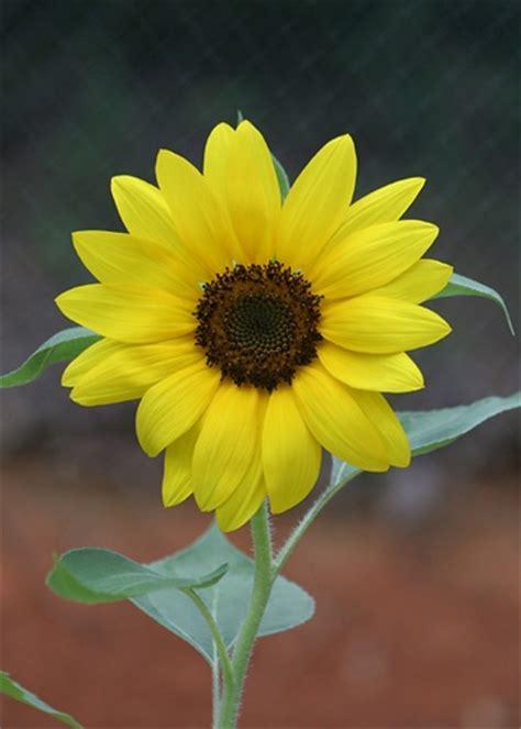 kansas sunflower 50 state flowers 1 pinterest sunflower kansas state flower kansas there s no place