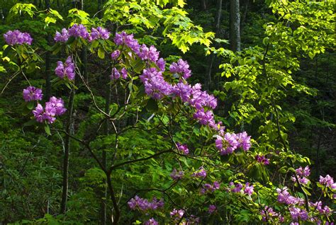 kentucky native plant and wildlife plant of the week catawba rhododendron rhododendron