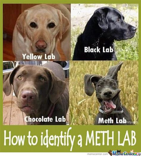 Black Lab Meme - lab meme gallery