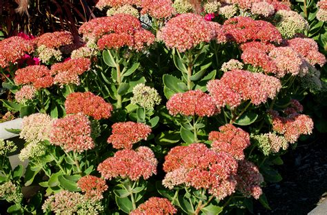 fall plants autumn joy stonecrop flowers sedum plants for fall