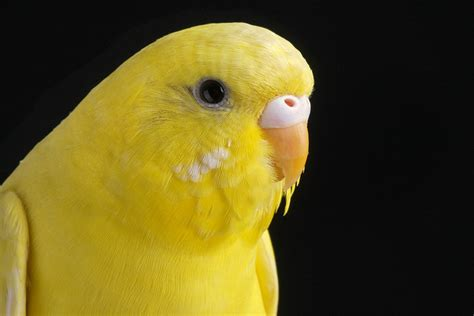 Master Pakan Burung Lovebird perawatan parkit untuk masteran murai batu om kicau