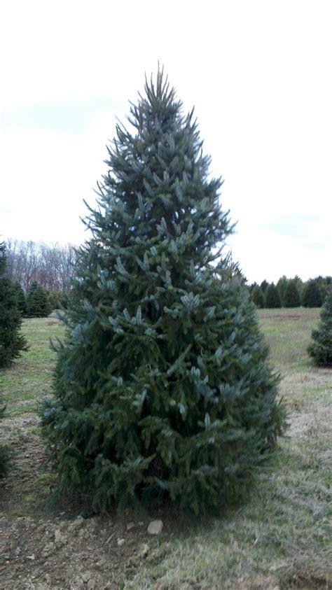 serbian spruce christmas tree christmas lights decoration