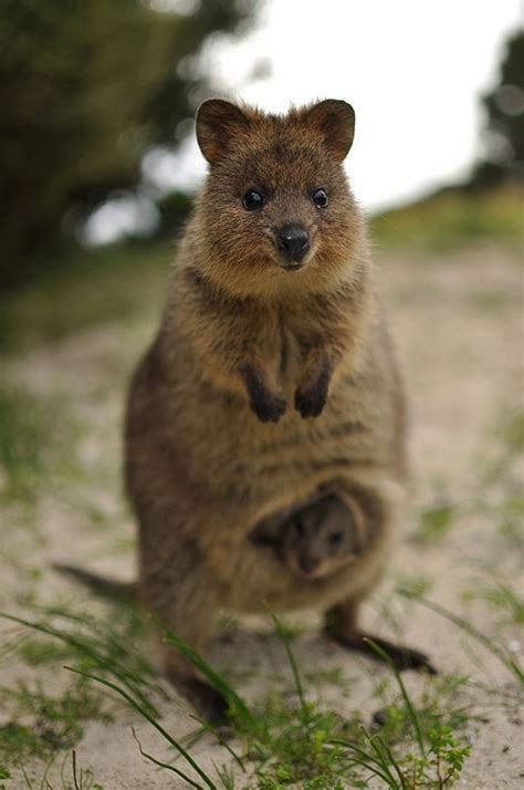 8 Animals From Australia Id To See by Quokka Australians Australian Animals And Quokka