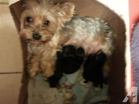 do yorkies dew claws yorkie quot quot pups for sale in keller classified americanlisted