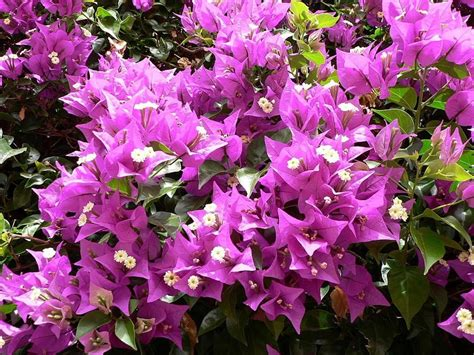 file pink flowers in bush jpg