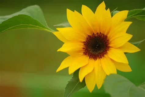 Bunga Matahari Sunflower bunga matahari sunflower helianthus annuus l koleksi