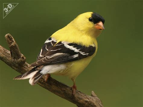 american goldfinch 3d 174 pet products3d 174 pet products