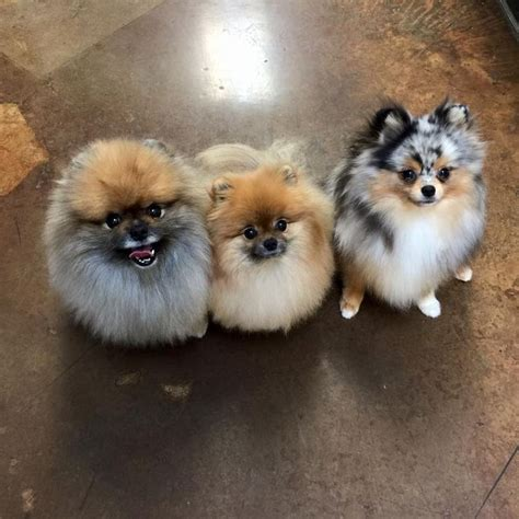 pomeranian bowling 1000 images about pomeranian names and pictures on