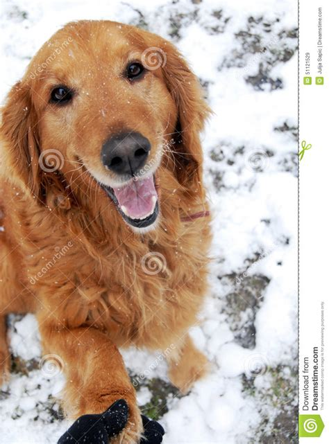snowy paws golden retrievers golden retriever portrait at snow stock photo image 51121529