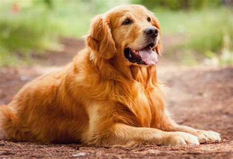 what breed is a golden retriever golden retriever breed information pets world