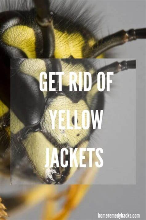 8 Tips On Getting Rid Of Yellow Jackets by 11 Home Remedies To Get Rid Of Yellow Jackets