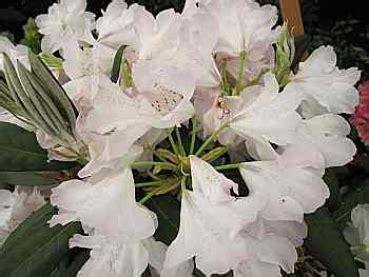 Britzer Garten Rhododendron by Rhododendron Hybr Quot Britzer Garten Quot 30 40 Www