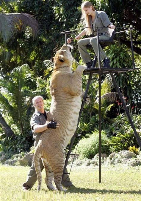 world s largest hercules hercules 922 pound liger is the world s largest living cat