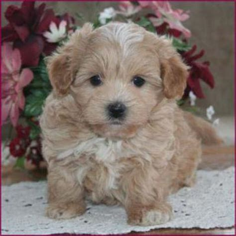 maltese puppies for sale in iowa maltipoo maltepoo maltese poodle puppies for sale iowa