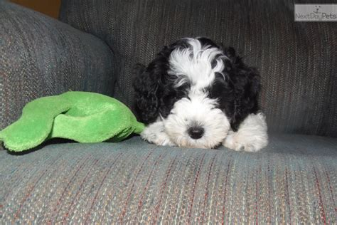 puppies toledo ohio aussiedoodle puppy for sale near toledo ohio 685d72ff 7c21