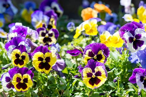 Interior Design Tricks by How To Grow And Care For Pansies
