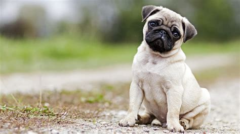 pug petsmart pug puppies should rule the world and this proves it