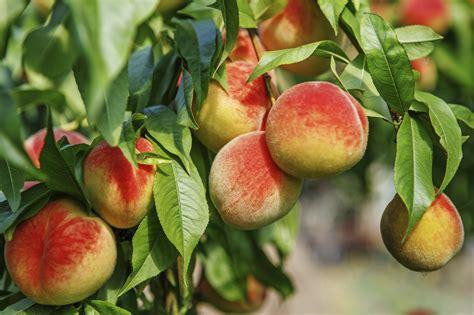 4 fruit tree zone 4 tree varieties tips on growing trees