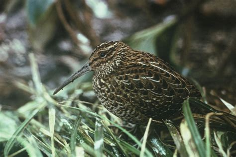 snipe bid south island snipe new zealand birds