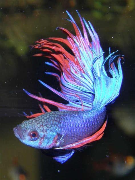 bird flower  fish siamese fighting fish