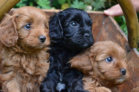 cavoodle puppies cavoodles almost bought him one of these today i promise u baby for