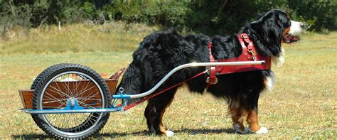 how much are bernese mountain puppies bernese mountain club of great britain starting carting with your bernese