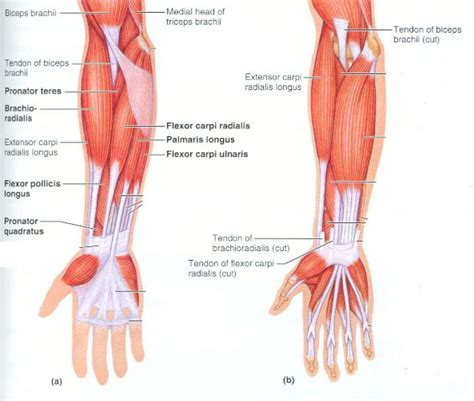 diagram of the forearm forearm anatomy muscles human anatomy diagram