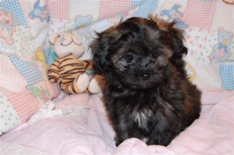 mini shih tzu breeders miniature poodle x shih tzu sihpoo puppies cheltenham gloucestershire pets4homes