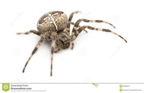 Garden Spider Definition European Garden Spider Royalty Free Stock Photography